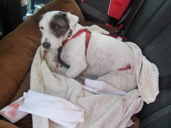 Stitch after getting attacked by St Bernard at Cheddar Gorge